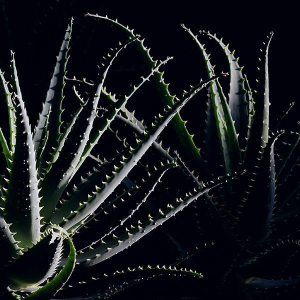 Aloe-Arborescens-1