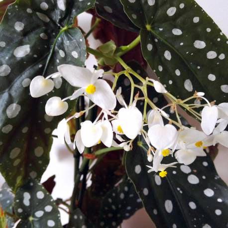 Begonia-Maculata-1